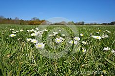 Photo about Daisies on park with blue skies as a background. Image of pretty, green, field - 53315589