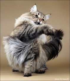 Norwegian Forest Cat - BleuVous.com