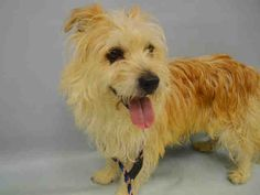 SAFE ...LANG – A1073363  MALE, TAN, CAIRN TERRIER MIX, 5 yrs STRAY – STRAY WAIT, NO HOLD Reason STRAY Intake condition UNSPECIFIE Intake Date 05/11/2016, From NY 10454, DueOut Date 05/14/2016, I came in with Group/Litter #K16-057022
