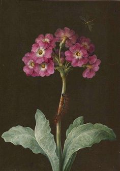Merian Primula with Caterpillar and Dragonfly   Maria Sibylla