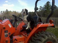 Border collies, always useful around the farm...