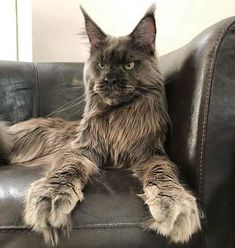 Maine Coon Cat Gallery - Cat's Nine Lives Cute Cats And Kittens, I Love Cats, Crazy Cats, Cool Cats, Adorable Kittens, Funny Kittens, White Kittens, Pretty Cats, Beautiful Cats