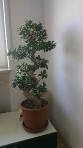 how much water does my indoor ficus tree need - Google Search