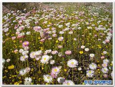 花のオーストラリア