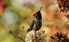 Hummingbirds,Colibris, Pictures taken at Los Venados, National Park, El Avila, aprox. 1400m,s,n,m,, Noviembre 2014