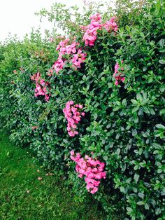 Hedge of Rosa Rugosa.