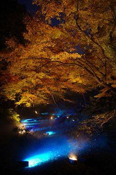 Momiji Illuminations   Unique momiji illuminations with blue…   Flickr