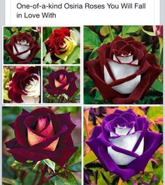 FRAUD/HOAX None of these photoshopped roses shows the true colour of the Osiria rose click this link for the true colour http://www.helpmefind.com/gardening/l.php?l=2.4609&tab=36&qn=0&qc=0 learn how to grow them and the problems of trying to grow this rose here https://www.gardeningknowhow.com/ornamental/flowers/roses/gardening-with-osiria-roses.htm