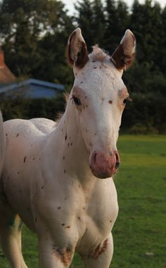 Pretty eyes on this Appaloosa baby