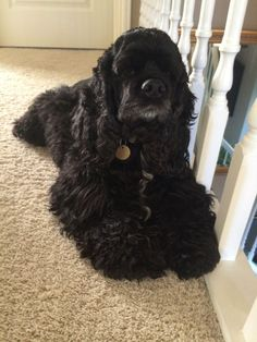 """Figure out more relevant information on """"cocker spaniel dog"""". Look into our web site. Cocker Spaniel Anglais, Black Cocker Spaniel, American Cocker Spaniel, Cocker Spaniel Puppies, English Cocker Spaniel, Spaniel Breeds, Dog Breeds, Cute Puppies, Dogs And Puppies"""