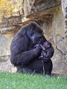 ¡Bebé gorila recién nacido en BIOPARC Valencia! Más información: www.bioparcvalencia.es