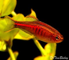 Fire Ring Danio | tetra it apr 30lt danios tetra questions 30lt giant has platy more ...