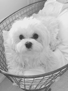 MALTESE DOG Reminds me of Mai-Mai, and/or the Minchew's Daughter's dog, Zoey (I used to dog sit sweet Charley, the Minchew's dog). Cute Puppies, Cute Dogs, Dogs And Puppies, Doggies, Animals And Pets, Baby Animals, Cute Animals, Malteser, Maltese Dogs