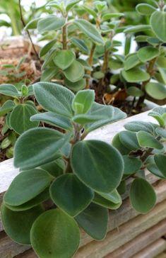 Peperomia Succulent Species | #plantwishlist