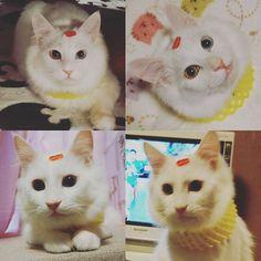 まりなんで笑ってるにゃ🐱?? 昔, 背中に張り紙をされて気付かないで授業している先生がいたなぁーって 思い出しちゃった( *´艸`)♥ ふくちゃん「ふーん( ^∀^)」 頭の#真穴みかん シールに 全く気付いてない#フルーツ王子 🍎  #白猫 #猫写真 #猫バカ #愛猫 #ねこ部 #しろねこ部 #ふわもこ部 #オッドアイ #金目銀目 #oddeye#猫 #ねこ #愛猫同好会 #イケニャン #にゃんすたぐらむ #にゃんだふるらいふ #猫のいる生活 #自宅警備員#cat#whitecat #catstagram #ねこら部 #美猫 #ねこすたぐらむ#mixcat