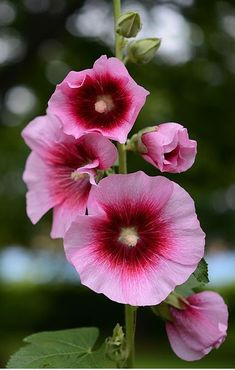 Flowers for you — Hollyhock by poa Flowers For You, Pretty Flowers, Pink Flowers, Flower Images, Flower Art, Hollyhocks Flowers, Malva, Amazing Flowers, Trees To Plant