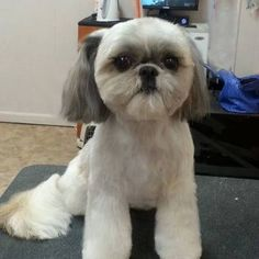 That Crazy Square Haircut For Dogs Is Available In America, Too - http://www.77evenbusiness.com/that-crazy-square-haircut-for-dogs-is-available-in-america-too/