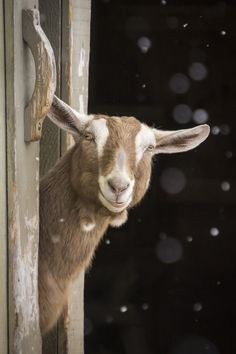 Lauren, a three year old Toggenburg goat, peeks out of her barn on a snowy day.
