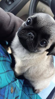 Read This Article To Find Great Dog Ownership Advice – Info About The Dog Get great ideas on pug puppies. They are actually accessible for you on our site. Black Pug Puppies, Cute Dogs And Puppies, Doggies, Puppies Puppies, Terrier Puppies, Bulldog Puppies, Boston Terrier, Cute Funny Animals, Cute Baby Animals