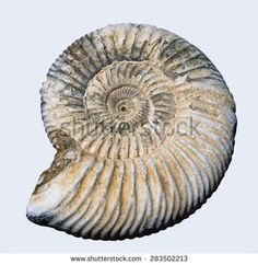 Pyretised ammonite fossil on white background