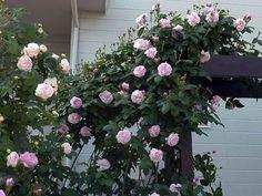 パーゴラから枝垂れ咲く 大好きなバラの庭#74 アズさん   素敵なお庭紹介   アイリスガーデニングドットコム   ガーデニングの全てが分かる情報・コミュニティサイト