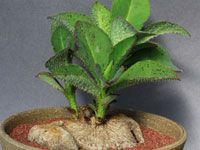 Monadenium echinulatum