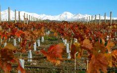 La Ruta del Vino MendozaPara los amantes del buen vino, recorrer las bodegas es el sueño del pibe, aunque también puede resultar entretenido para aquellos que no son fanáticos. La magia de los olores, la degustación y las explicaciones del proceso, le da un efecto sin igual...