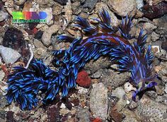 A Blue Dragon nudibranch and other nudibranches. #biology #marine #nudibranch