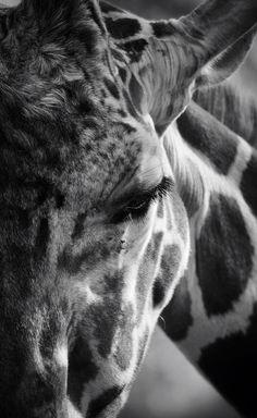 I love giraffes ❤