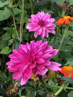 Fairy Flower Seeds Dahlia Redskin mixed x 25 seeds