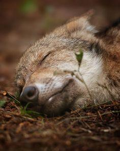 SleepingWolf
