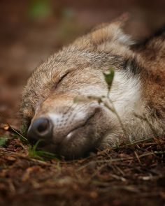 SleepingWolf