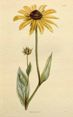 Rudbeckia hirta (The Black-eyed Susan) Vintage Botanical Prints, Botanical Drawings, Botanical Flowers, Botanical Art, Blooming Flowers, Art Floral, Flower Sleeve, John James Audubon, Black Eyed Susan