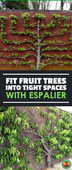 Expand your harvest by planting espalier fruit trees in your yard! These ornate patterned trees are great for small space growing. Our guide shows you the basics! #fruit #espalier #gardening #trees Espalier Fruit Trees, Fruit Tree Garden, Garden Trees, Edible Garden, Vegetable Garden, Garden Plants, Bonsai Trees, House Plants, Potted Trees