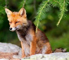 Red Fox Cub by Hendrik Helm on Fantastic Fox, Fabulous Fox, Unusual Animals, Most Beautiful Animals, Woodland Creatures, Woodland Animals, Best Messenger, Fennec Fox, Fox Art