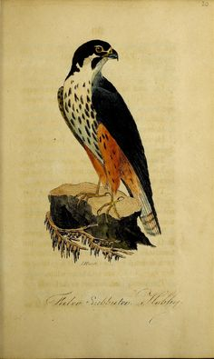 British ornithology :. Norwich :Bacon,1815-22.. biodiversitylibrary.org/page/48425247