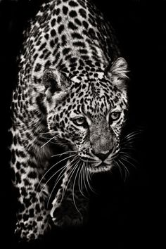"black-and-white: "" Approaching Leopard by Nathan Schepker "" Beautiful Cats, Animals Beautiful, Animals And Pets, Cute Animals, Wild Animals, Gato Grande, Tier Fotos, Mundo Animal, Big Cats"