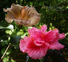 Hibiscus Rosa Sinensis Suntan & Zaragoza