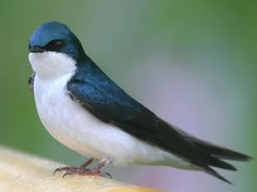 Swallow Wallpaper - Animals Town