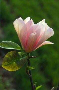 magnolia latino personals Magnolia magnolia spp family: no magnoliaceae common names: ~cucumbertree~ ~magnoliae cortex~ ~blue magnolia~ ~swamp sassafras~ ~magnolia tripetata~ ~chinese magnolia~ ~flos magnoliae~~magnolia flower bud~ chinese names: ~hou po hua~ ~hou pu~ ~hsin-i~ ~shin-i~ ~xin yi~ ~xinyihua~ the first magnolias.