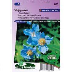Graines+de+Pavot+bleu+de+l'Himalaya+-+Meconopsis+betonicifolia