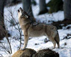 J'aimerais en savoir plus sur le loup en Isère.