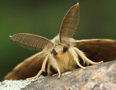 8318-Lymantria-dispar-IMG_8661-copy.jpg (4128×3192)  Gypsy Moth