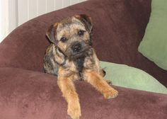 Sonja's Pippa.   Photo by   Patterdale Border Terriers