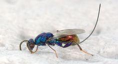 Torymidae - Pesquisa Google