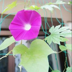 joy of stsart of the day Visit the post for more.  on my daily life Tagged asagao, flower, garden, matchaatnoon, morning, morning glory, nature, on my daily life, summer
