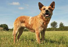 Blue heeler and red heeler differences