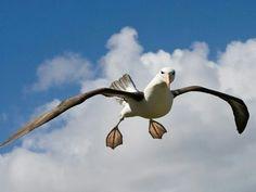 Spread the love like an albatross spreads his wings! #albatross