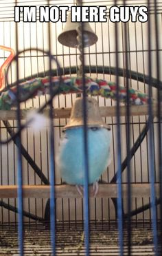 Blue Budgie                                                                                                                                                     More