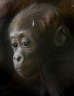 Baby gorilla, Thirza. such expressive eyes ...